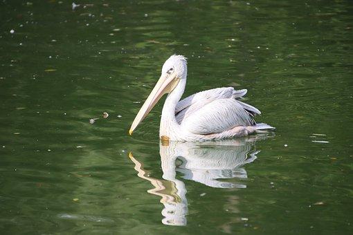 Bird, Pelican, Ornithology, Species, Fauna, Avian