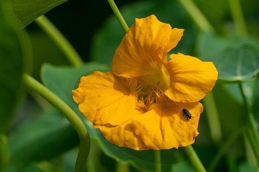 Flower, Nasturtium, Yellow Flower, Bloom, Botany