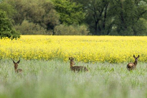 Deer, European Deer, Meadow, Pasture