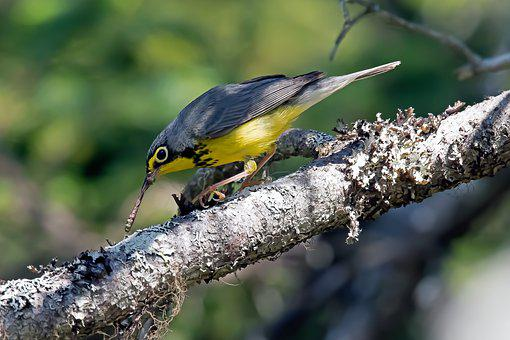 Warbler, Bird, Perched, Animal, Feathers