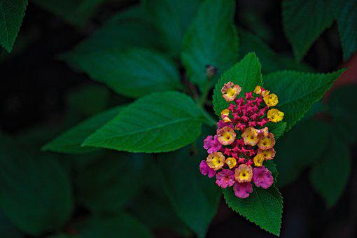 Lantanas, Flowers, Little Flowers, Leaves, Petals