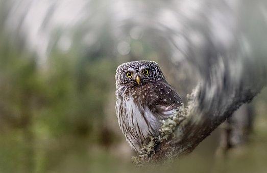 Eurasian Pygmy Owl, Owl, Bird, Glaucidium Passerinum