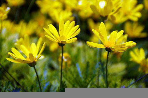 Flowers, Marguerite Daisies, Yellow Flowers, Meadow