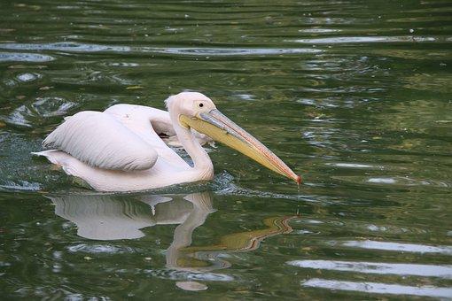 Bird, Pelican, Ornithology, Species, Animal, Fauna