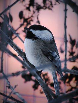 Chickadee, Bird, Perched, Animal, Feathers, Plumage