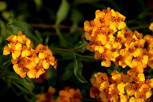 Mexican Marigold, Flowers, Plants, Yellow Flowers