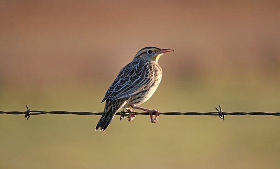 Meadowlark, Bird, Animal, Wildlife, Plumage, Beak