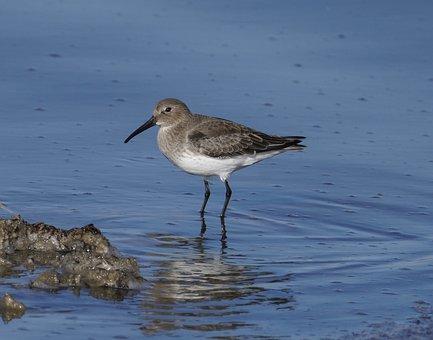 Dunlin, Bird, Sea, Shorebird, Wader, Animal, Wildlife