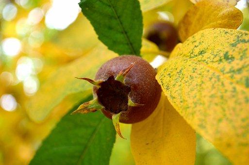 Mespilus, Medlar, Fruit, Yellow Leaves, Foliage, Macro