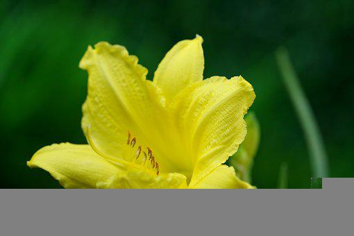 Lily, Yellow Flower, Yellow Lily, Garden, Flora, Nature