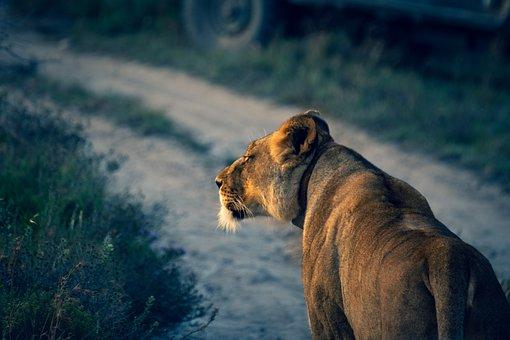 Lion, Animal, Mammal, Predator, Wildlife, Safari, Zoo