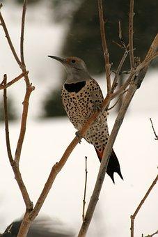 Woodpecker, Northern Flicker, Bird, Wildlife, Avian