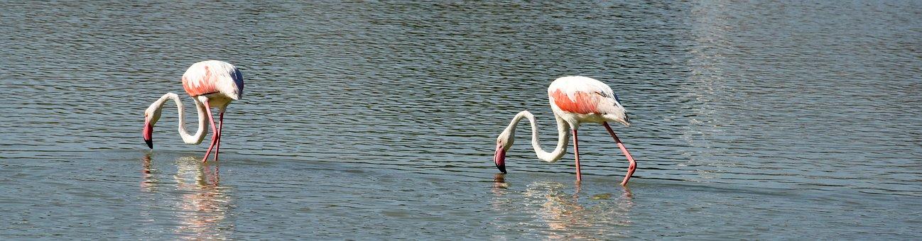 Pink Flemish, Bird, Feathers, Neck, Beak, Couple