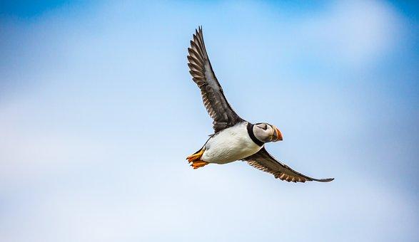Puffin, Bird, Sea, Flight, Wildlife, Fly, Feather