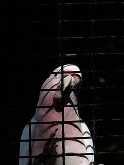 Cockatoo, Bird, Pink, Captivity, Cage, Grid
