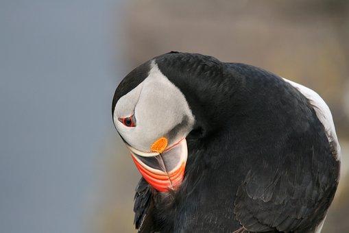 Bird, Puffin, Iceland