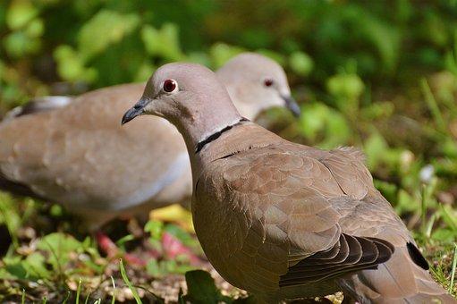 Collared, Pigeons, Lovebirds, Couple, Pair, Bird