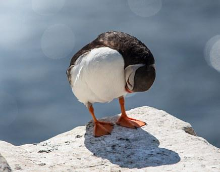Puffin, Bird, Sea, Wildlife, Rock, Island, Nature