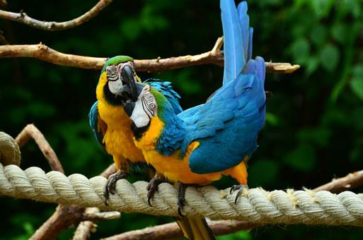 Parrot, Yellow-breasted Parrot, Yellow Macaw, Ara, Bird