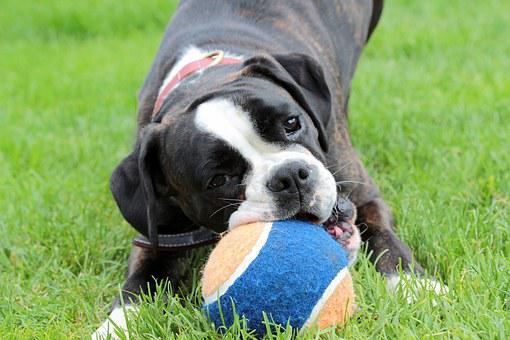 Dog, Boxer, Black And White, Ball, Dog Look, Pet