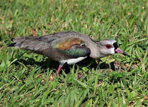 Quero-quero, Nest, Looking, Mad, Bird, Brazilian