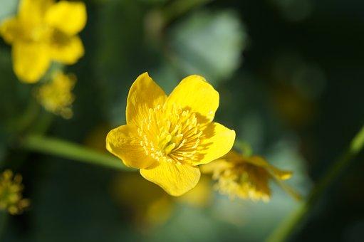 Caltha Palustris, Close Up, Hahnemann Foot Greenhouse