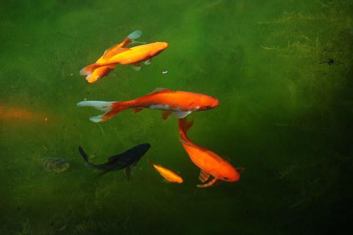 Garden Pond, Cold, H2o, Goldfish, Fish, Water, Light