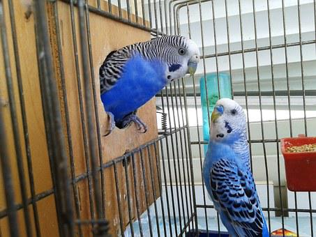 Birds, Cage, Parrots, Couple, Parrot In Cage, Bird