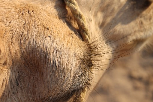 Camel, Tunis, Eye Lashes, Close Up, Animal, Desert