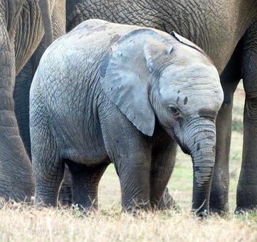 Elephant, Elephant Baby, Calf, Wildlife, South Africa