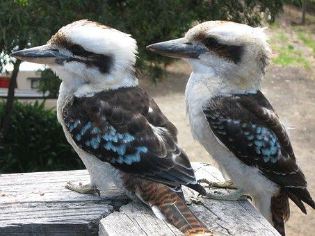 Kookaburra, Birds, Couple, Fauna