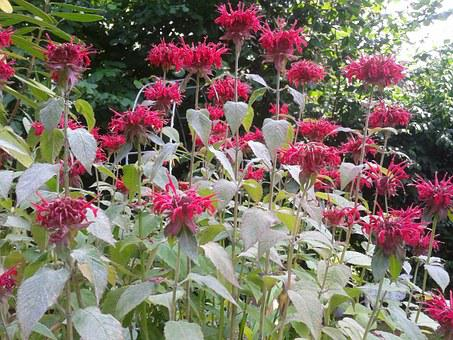 Indian Nettle, Nettle, Flowers, Red, Fill
