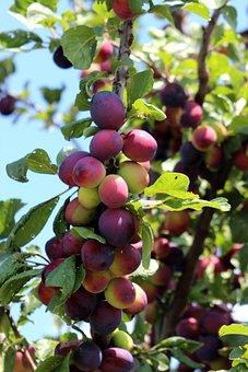 Fruit, Plum, Sweet, Purple By, Food, Vitamins, Plant