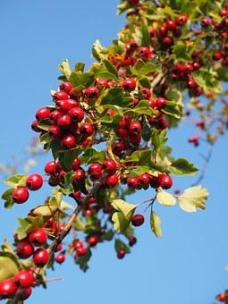 Berries, Fruits, Red, Fill, Eingriffeliger Hawthorn