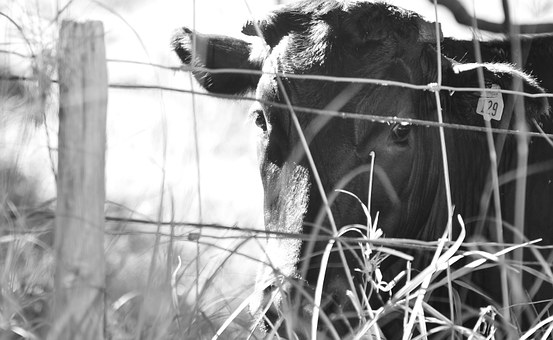 Cow, Maui, Hawaii, Farm, Grass, Island, Nature, Animal
