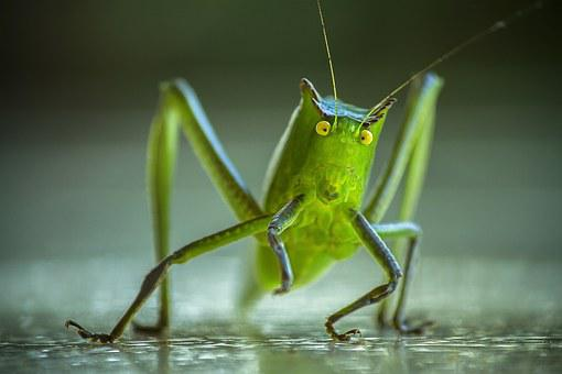 Cricket, Grasshopper, Katydid, Lobster, Insect, Insects