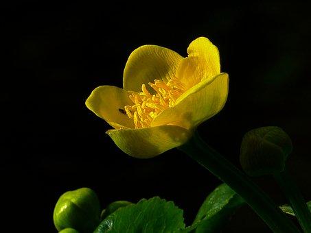 Caltha Palustris, Hahnemann Foot Greenhouse, Yellow