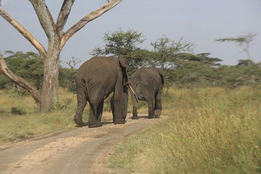 Elephants, Africa, Serengeti, Tanzania, Nature