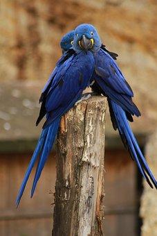 Couple, Parrot, Animals, Birds