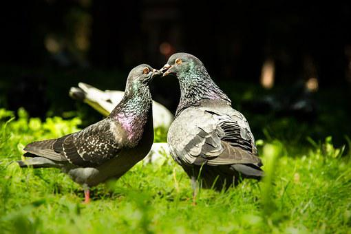Birds, Pigeons, Love, Couple, Doves, Freedom, Peace