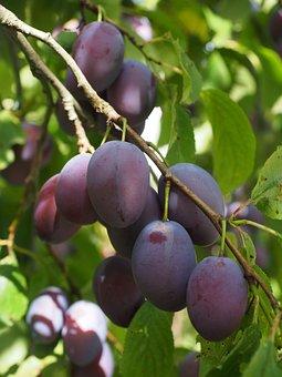 Plums, Plum Tree, Fruit, Food, Blue, Healthy, Violet