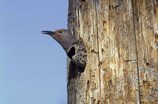 Area, Nesting, From, Head, Its, Pokes, Flicker