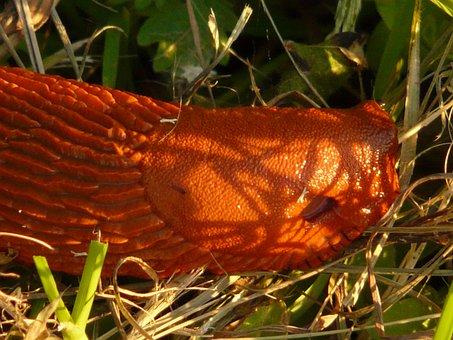 Snail, Red Wegschnecke, Arion Rufus, Orange, Bright