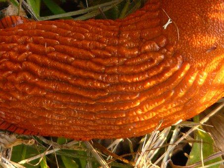 Snail, Red Wegschnecke, Shell Shield, Orange
