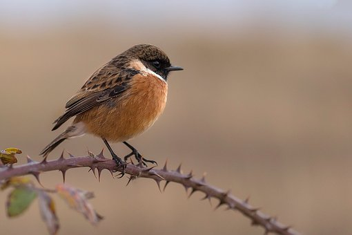 Chick Chasco, Stonechat, Ave, Wings, Bird, Fauna