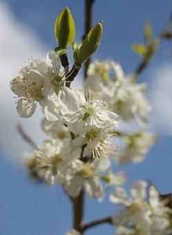 Plum, Plum Blossom, Sky, Blue, Clouds, Sunny, Spring