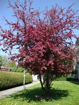 Blood Plum, Spring, Wiblingen