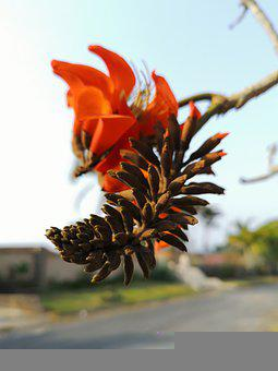 African Coral Tree, Flowers, Branch