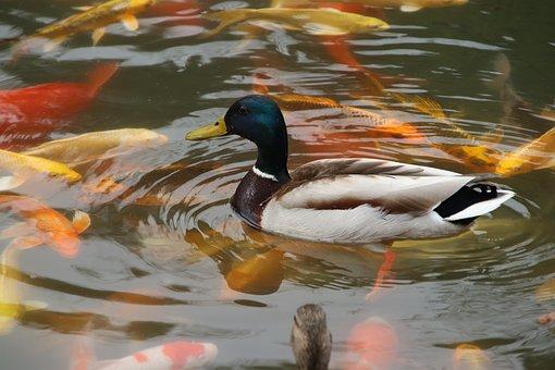 Mallard, Water Bird, Aquatic Bird, Animal, Fauna, Beak
