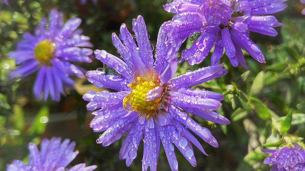 Asters, Flowers, Plant, Purple Flowers, Dew, Wet